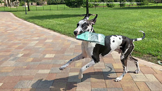 Great Dane proudly delivers newspaper despite distractions