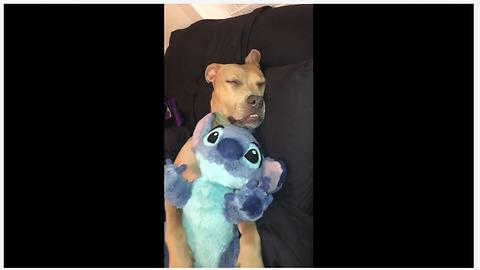 Pitbull cuddles his stuffed animal to sleep