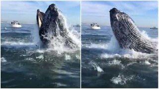 Baleia faz salto impressionante para se alimentar