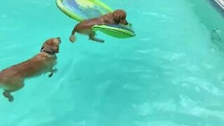 Two pups share a raft and float around the pool