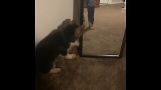 German Shepherd puppy discovers reflection in mirror