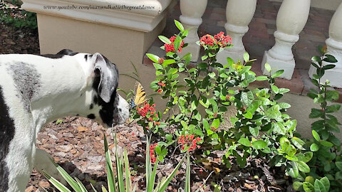 Gentle Great Dane wants to play with a butterfly