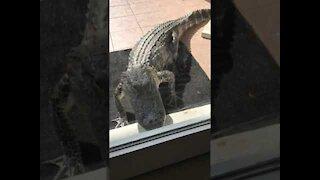Aggressive Alligator Stares Into Florida Home