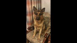 Crazy German Shepherd Pup