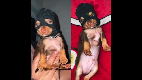 sweet chihuahua turning into a bad boy