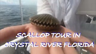 SCALLOP TOUR IN CRYSTAL RIVER FLORIDA