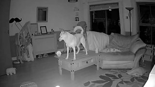 Barking Up The Wrong Table! Naughty Dog Gets Caught Standing On Furniture