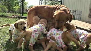 Puppies in adorable pajamas drink milk from their mother