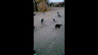 Farm cat feeding time.