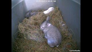 Baby Bunnies Explore Their Nest