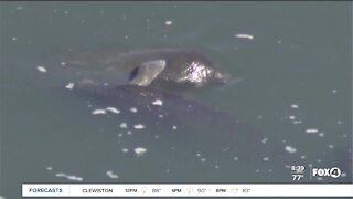 Concerns rise over increase in manatee deaths