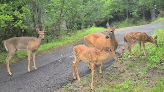 Mother Deer with Twins Encounter Young Buck