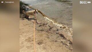 Cette chienne tente d'attraper les vagues!