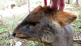 Rescued young pudu thoroughly enjoys head scratches