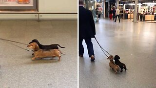 Hilarious moment pair of proud dachshunds walk in tandem