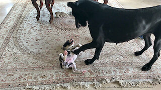 Gentle Great Dane Rolls 7 Week Old Puppy Over and Over and Over