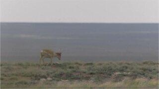 The Saiga antelopes of Kazakhstan