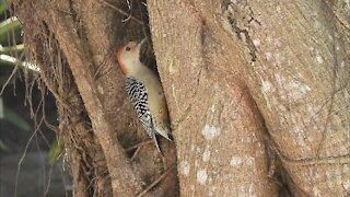 Red-Bellied Woodpecker Searching Tree