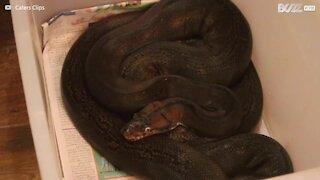Cet homme vit avec 4 énormes pythons!