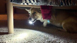 Corgi explorer walks around with a flashlight in his mouth