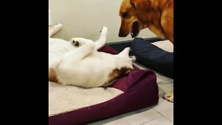 Dog has his own bed, decides to wrestle for his buddy's bed