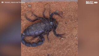 Time-lapse: un scorpion se défait de son exosquelette