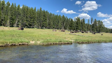 Field of Bison at Yellowstone