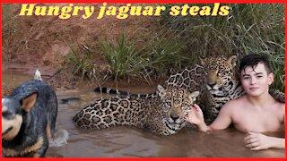 Hungry jaguar steals fish inside