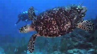 Scuba diver has magical swim with critically endangered sea turtle