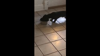 Mini Dachshund puppy is afraid every time his food bowl moves