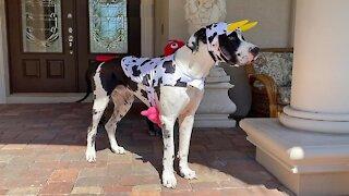 Shedding Great Dane shakes off his Halloween costume