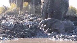 Cucciolo di elefante rimane intrappolato nel fango