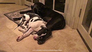 Great Dane & puppy cuddle up for nap