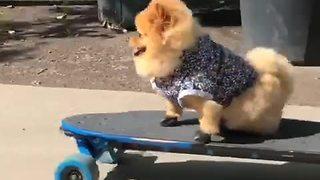 Cool Pomeranian Is A Skateboarding Genius