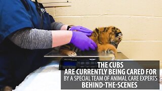 Cleveland Zoo welcomes birth of two Amur tiger cubs