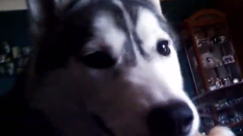 Siberian Huskies can't get enough playtime