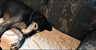 Cat becomes trapped in couch under sleeping Great Dane
