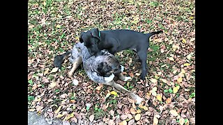 Great Dane puppy meets family dog for the first time