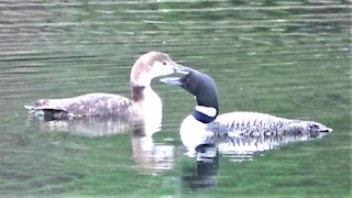 Lost baby loon is reunited with his mother after two days apart