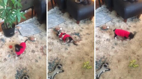Puppy has hilarious reaction to his first sweater