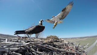 Fish eagle brings home a big fish, ferocious aerial battle follows