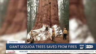 Can sequoia trees survive wildfires?
