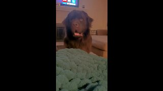 Clever Newfoundland masterfully swindles his owner