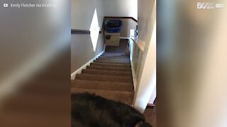 Lazy dog slides down stairs on belly