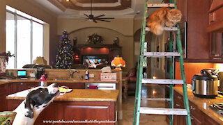 Vocal Great Dane advises cat how to climb down ladder