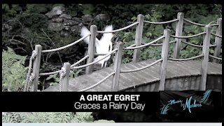 GREAT EGRET Graces A Rainy Day