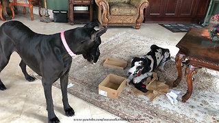 Great Dane watches paper-shredding puppy open shoe box
