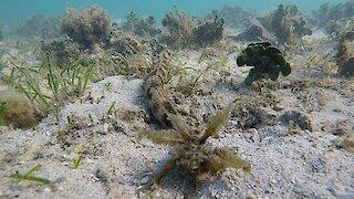 Scuba diver encounters incredibly bizarre underwater animal