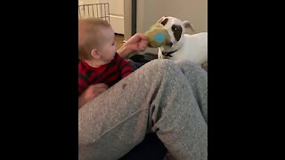 This baby can't stop laughing at a pit bull playing tug-of-war