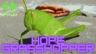 Hope Grasshopper